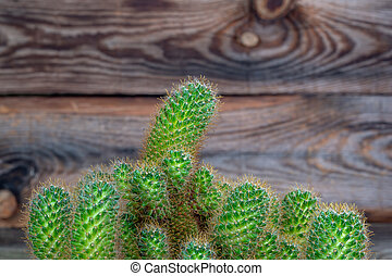 Bright green cactus on an old wooden background. Close-up shot