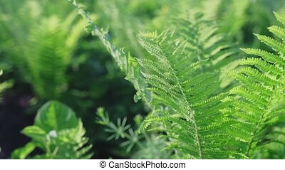 bright green leaves of a young fern on a sun-drenched lawn in a spring forest.