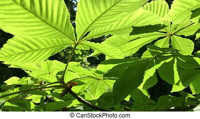 Bright green leaves of chestnut in the backlight of the sun.