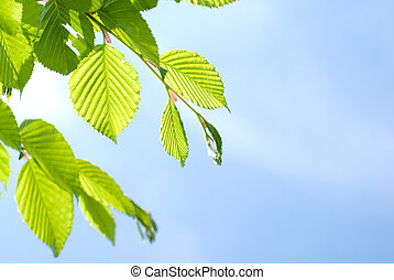Bright green leaves of the Chonowski's hornbeam tree in...