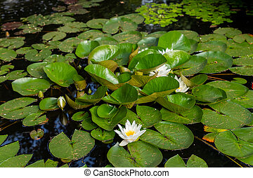 Bright green lilly pad's cover the surface of a pond.summer river with white lilies.quiet summer river.pond scenery with water lilly.water lily floating on a small lake