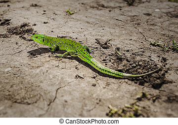 Bright green lizard close-up on ground