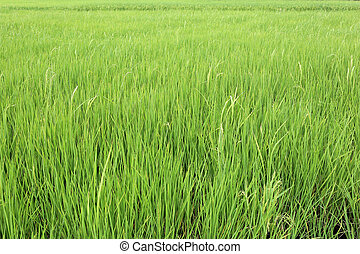 Bright green rice paddies fields in rural areas at Thailand.
