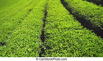 Bright Green Tea Shrubs on Farm in Chiang Mai - Orderly rows...