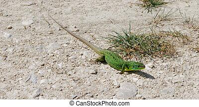 western Green Lizard - Bright green western Green Lizard on...