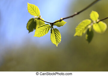 green young leaves - bright green young leaves lit by the ...