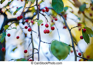 Bright hips of red berriea on branches. Autumn in the forest.