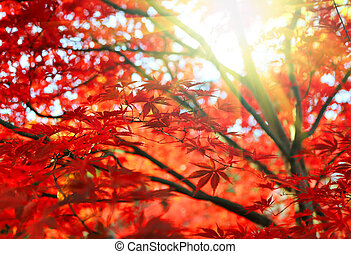 Bright Japanese maple or Acer palmatum leaves and sunlight