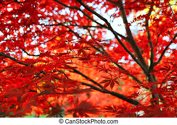 Bright Japanese maple or Acer palmatum leaves on the autumn garden