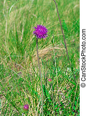 flower of a thistle against green grass
