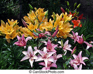 Bright lilies - A varicoloured lily flowerbe