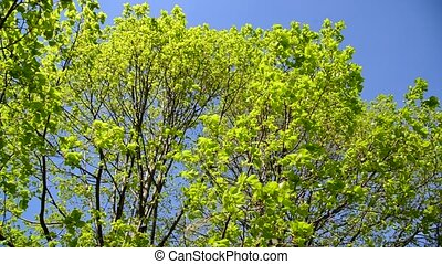 Bright lush leaves on  trees in May