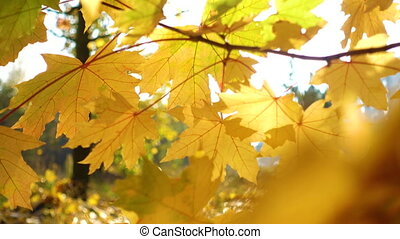 bright maple leaves on a autumn tree at the park