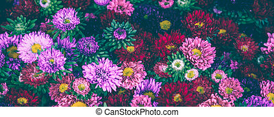 Bright multicolor asters decorative background. Long wide banner