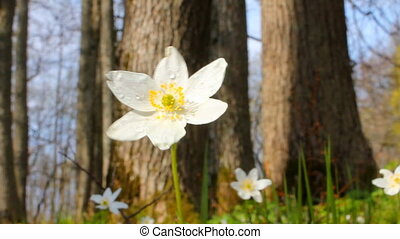 bright new white spring   forest flowers