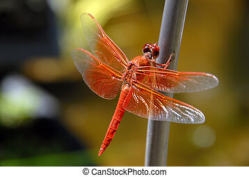 Bright Orange Dragon Fly, Wings Spread, Resting Against Green Background
