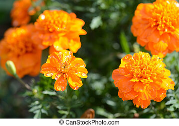 Bright orange flowers with drops of water in the garden