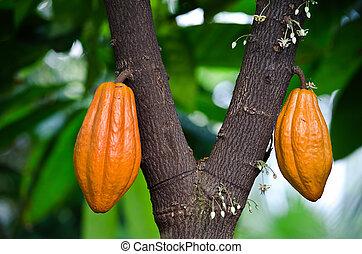 pods on cocoa tree - Bright orange pods on cocoa tree.