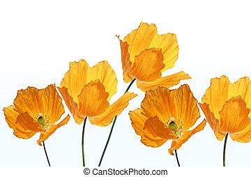 Bright, orange poppies on white background