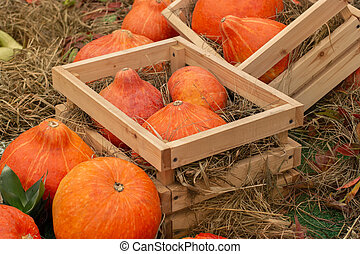 Bright orange pumpkins in wooden boxes. Farm harvest. Selling pumpkins and squash in the market