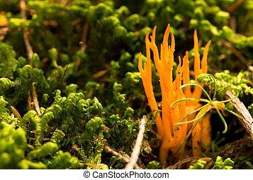 Bright orange ramaria mushrooms in green moss