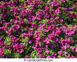 Bright petunias in the middle of the city.