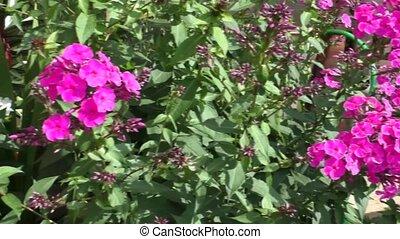 Bright Phlox grow in the garden