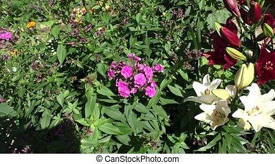 Phlox grow in the garden - Bright Phlox grow in the garden