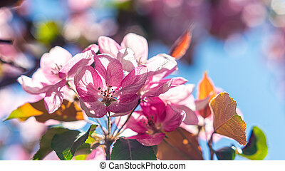 Bright pink apricot blossom on a blurred background.