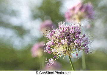 bright pink blooming ornamental onions