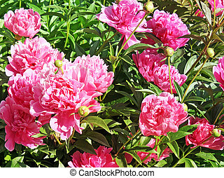 Bright pink blossoms of the Peony flower in full bloom