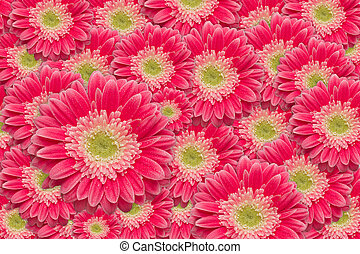 Bright Pink Gerber Daisies with Water Drops Background...