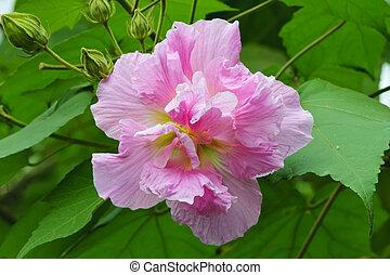 bright pink hibiscus flower in a garden