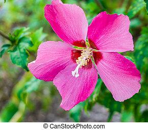bright pink hibiscus flower in bloom macro close up