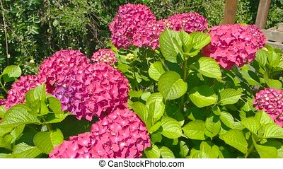 Bright pink hydrangeas. Flowers and leaves.