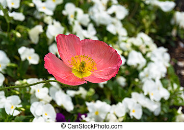 Bright pink oriental poppy flower on flowerbed