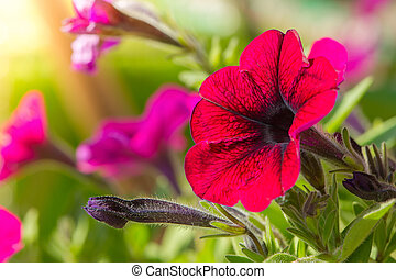 Bright Pink Petunia Flowers Close-Up