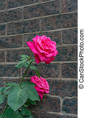 Bright pink roses in full bloom against old brick wall