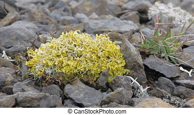 Lichen yellow-green poisonous species on the rubble Arctic desert
