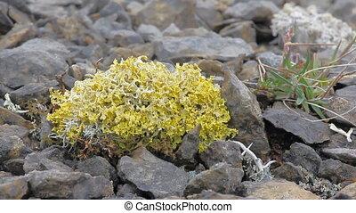 bright poisonous lichen in polar desert. Novaya Zemlya archipelago .