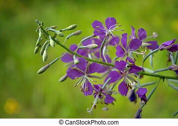 Bright purple fireweed flower on a blurred natural background close-up.