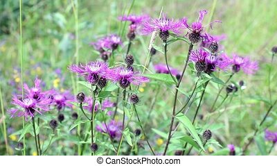 bright purple flowers of wild thistle