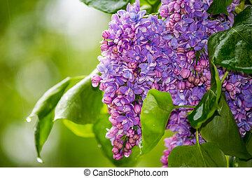 Bright purple lilac in the rain