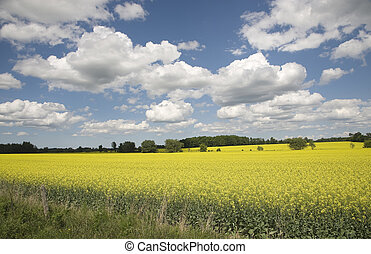 rapeseed field in the country