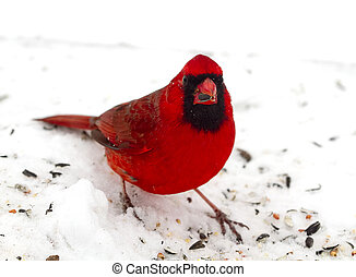 Bright Red and Beautiful Cardinal