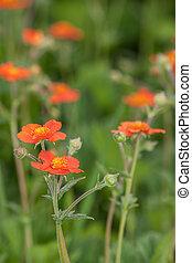 avens flowers in summer garden