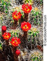 Bright red barrel cactus flowers