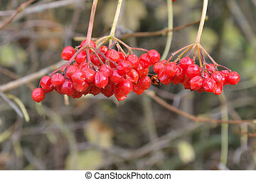Bright red Berries in Autumn