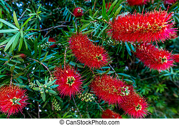 Bright Red Blossoms on a Bottlebrush Tree in Texas. - ...