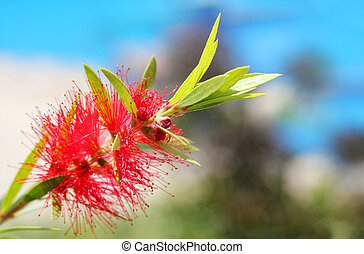 bright red bottle brush(Callistemon) flower with sky in background. This brilliant, pretty flower cluster is cylindrical in shape with red colored stamens